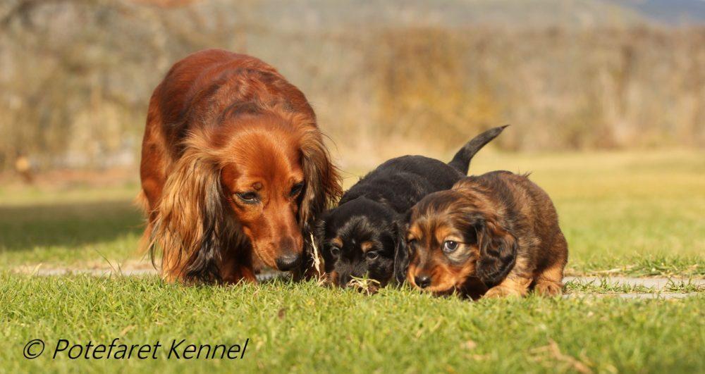 Potefaret Kennel